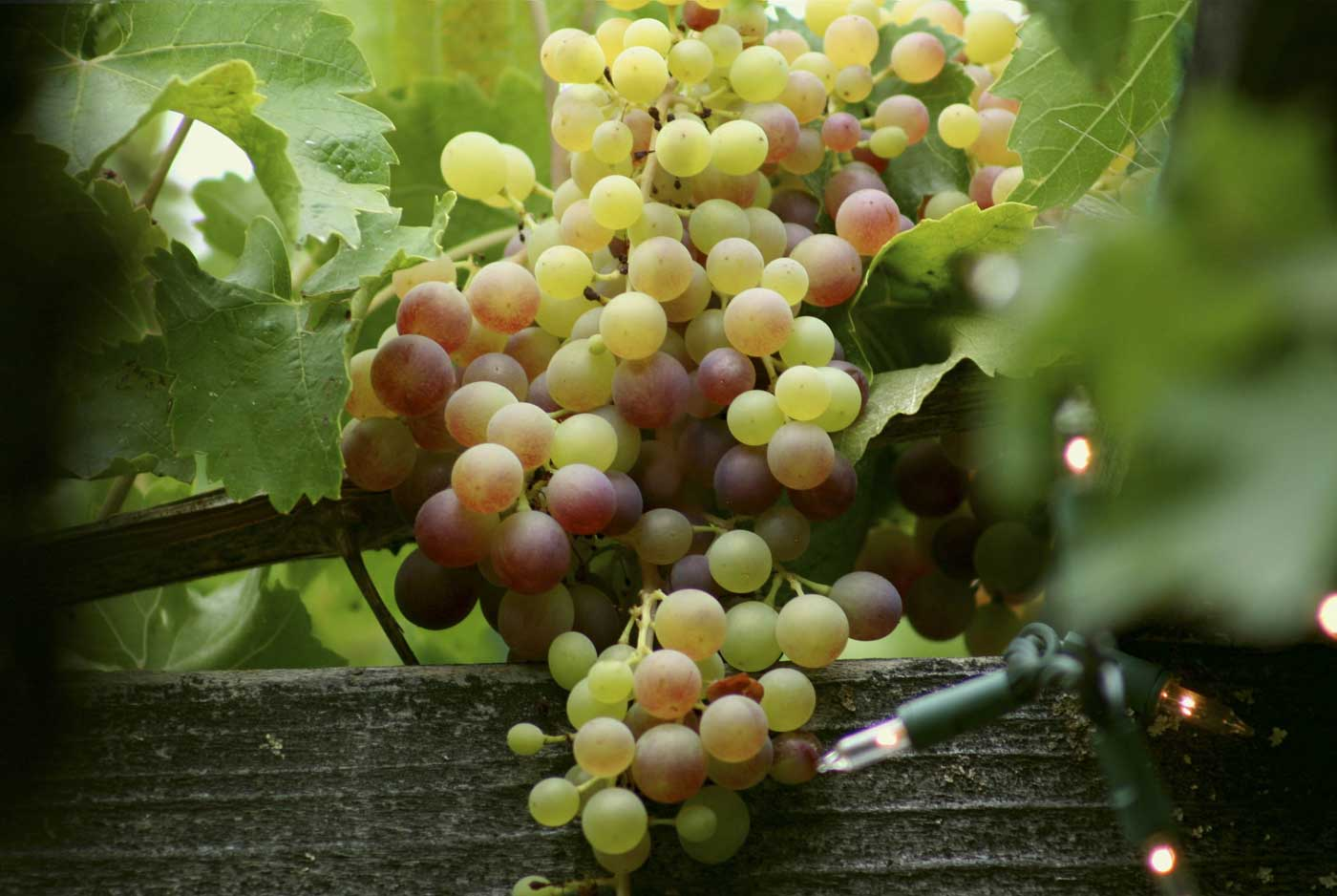Vineyard heisst Weinberg
